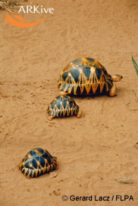 large-Radiated-tortoise-adult-and-juveniles