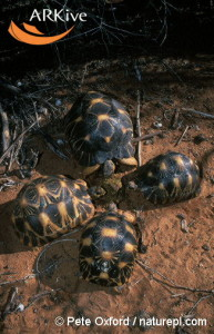 large-Radiated-tortoises-feeding