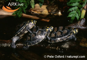 large-Three-yellow-headed-sideneck-turtles