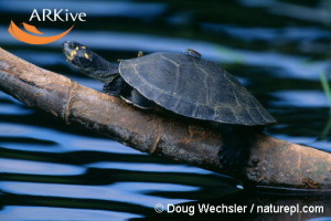 large-Yellow-headed-sideneck-turtle-basking
