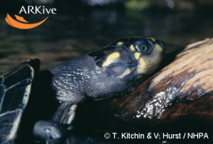 large-Yellow-headed-sideneck-turtle1
