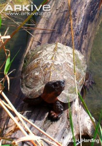 Wood-turtle-on-log
