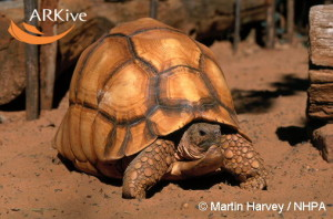 large-Madagascar-angulated-tortoise-