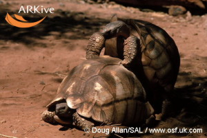 large-Madagascar-angulated-tortoises-mating