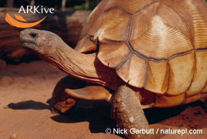large-Male-Madagascar-angulated-tortoise-