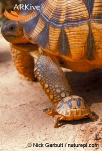 large-Young-Madagascar-angulated-tortoise-with-adult-