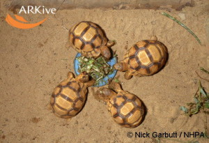 large-Young-Madagascar-angulated-tortoises-feeding-from-dish