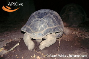 large-Aldabra-giant-tortoise-laying-eggs