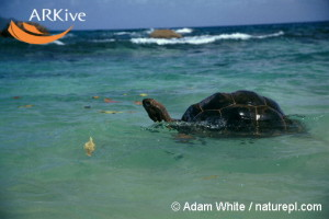 large-Aldabra-giant-tortoise-swimming