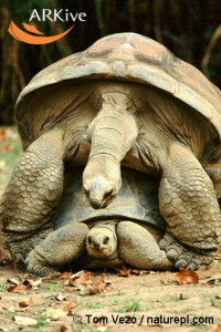 large-Aldabra-giant-tortoises-mating