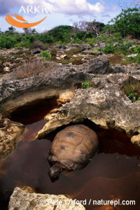 large-Aldabra-tortoise-in-wallow