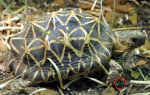 Indian_star_tortoise_-_Houston_Zoo_-_cropped