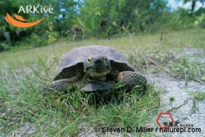 large-Gopher-tortoise