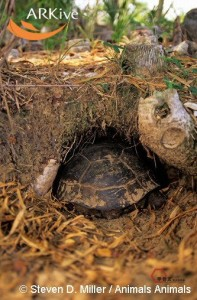 large-Gopher-tortoise-entering-burrow