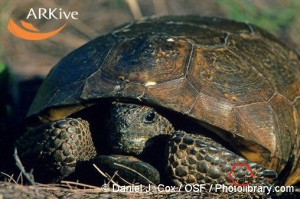 large-Gopher-tortoise,-head-partly-withdrawn-into-shell