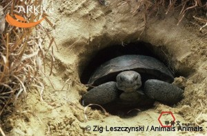 large-Gopher-tortoise-in-burrow-entrance