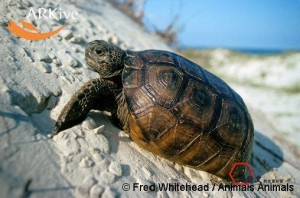large-Gopher-tortoise-on-sand-dune