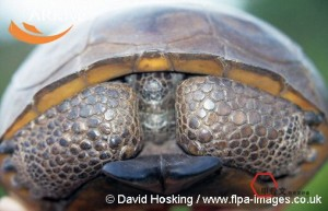 large-Gopher-tortoise-with-head-withdrawn-into-shell