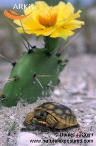 large-Infant-gopher-tortoise-under-blooming-prickly-pear