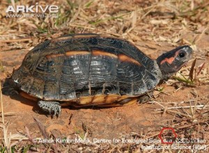 Three-keeled-land-tortoise