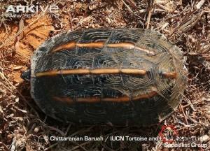 Three-keeled-land-tortoise-dorsal-surafe-of-shell