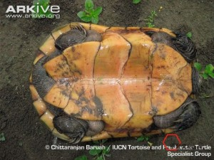 Three-keeled-land-tortoise-ventral-surface