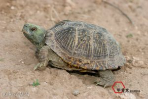 Desert box turtle from Hidalgo County, New Mexico.