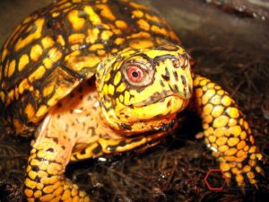 Eastern_box_turtle