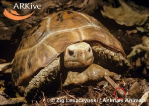large-Elongated-tortoise