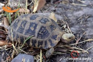 large-Elongated-tortoise-confiscated-from-poachers