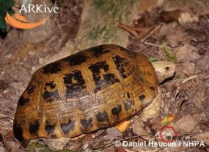 large-Elongated-tortoise,-side-view